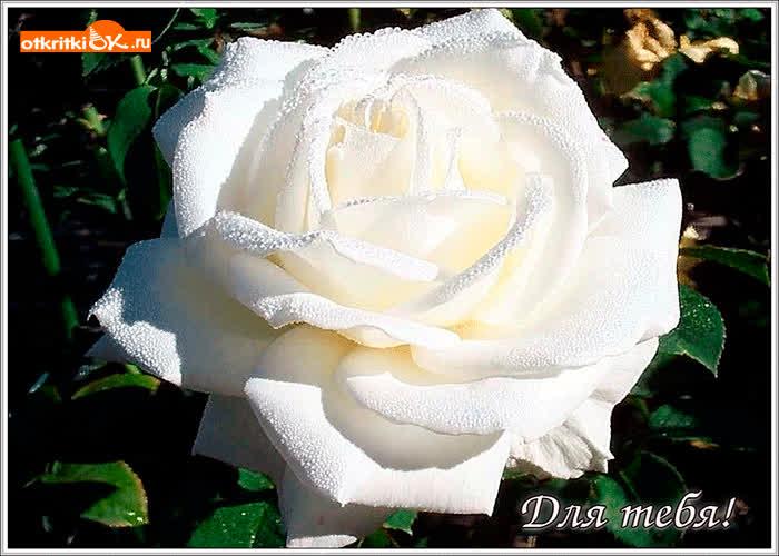 Картинка шикарная белая роза