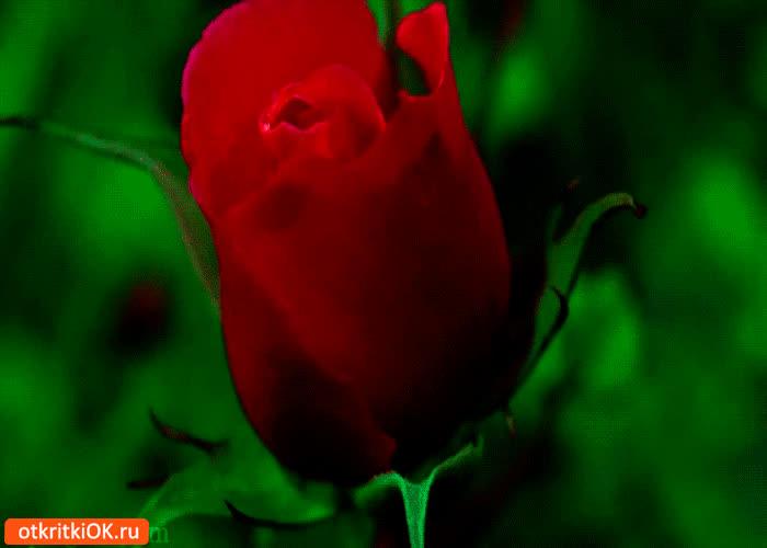 Картинка цветущая роза для тебя