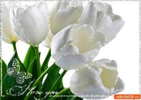 Открытка белые тюльпаны для тебя