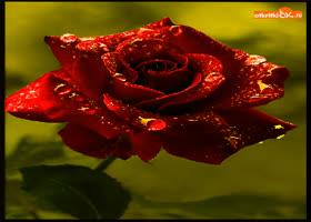 Картинка для тебя красивая роза