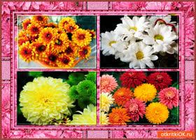 Открытка хризантемы для тебя