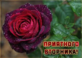 Открытка картинка вторник с розой