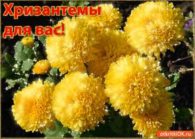 Картинка хризантемы для вас!