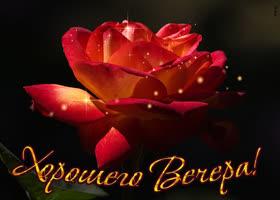Картинка открытка хорошего вечера с розой