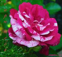 Открытка плейкаст цветы для тебя
