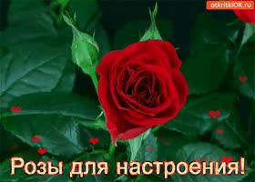 Картинка розы для настроения!
