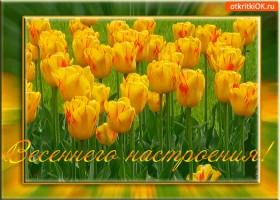 Картинка цветущего как тюльпаны настроения желаю