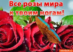Открытка все розы мира к твоим ногам