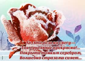 Картинка зимняя открытка с розой